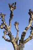 Árbol del Platanus Fotografía de archivo libre de regalías