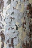 Árbol del Platanus Imagen de archivo