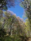 Árbol del resorte con el cielo azul Imagen de archivo
