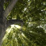 Árbol del sicómoro y rayos de Sun Imágenes de archivo libres de regalías