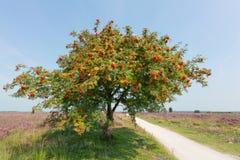 Árbol del Sorbus o de serbal con la baya Fotografía de archivo libre de regalías