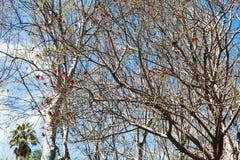 Árbol desnudo del acacia con el flor rojo en día de primavera Imágenes de archivo libres de regalías