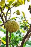 Árbol frutal de la anona en el jardín Imágenes de archivo libres de regalías