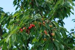 Árbol frutal de la cereza Fotos de archivo