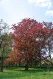 ?rbol grande con las hojas rojas en un fondo verde de los ?rboles Riversii, rojo real, foto vertical del árbol de arce, día de ve fotografía de archivo libre de regalías
