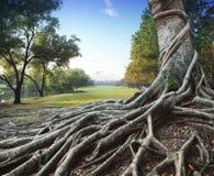 Árbol grande de la raíz en parque verde Imagen de archivo libre de regalías
