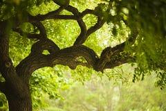Árbol hermoso viejo Imágenes de archivo libres de regalías
