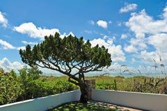 Árbol imperecedero Foto de archivo libre de regalías