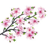 Árbol japonés Sakura, flor de cerezo aislada Fotografía de archivo libre de regalías
