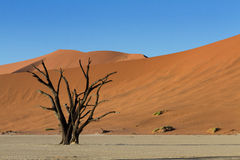Árbol muerto y dunas de arena rojas Fotografía de archivo