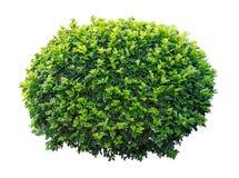 Árbol ornamental Foto de archivo libre de regalías