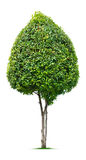 Árbol ornamental Fotografía de archivo libre de regalías