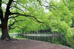 ?rbol poderoso con las hojas verdes fotografía de archivo libre de regalías