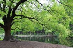 ?rbol poderoso con las hojas verdes fotos de archivo
