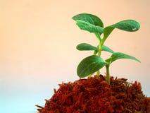 Árbol que crece 12 Imágenes de archivo libres de regalías