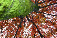 Árbol rojo con el musgo verde Fotografía de archivo libre de regalías