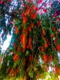 ?rbol rojo de las flores que se coloca en un jard?n imágenes de archivo libres de regalías