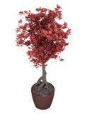 Árbol rojo de los bonsais en un crisol Imagenes de archivo