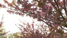 ?rbol rojo hermoso de la flor de cerezo de Sakura durante puesta del sol en Riga, Letonia almacen de metraje de vídeo