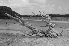 Árbol seco en la charca en grande salino, St Barts, francés las Antillas de la sal Foto de archivo libre de regalías