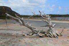 Árbol seco en la charca en grande salino, St Barts, francés las Antillas de la sal Fotografía de archivo