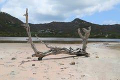 Árbol seco en la charca en grande salino, St Barts, francés las Antillas de la sal Fotos de archivo libres de regalías