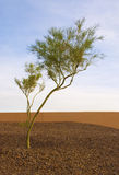 Árbol solitario de Palo Verde Fotos de archivo libres de regalías