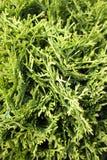 Árbol verde del thuja Fotos de archivo libres de regalías