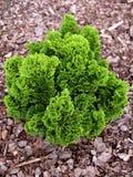 Árbol verde del thuya Imagen de archivo