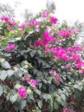 ?rbol verde y flores rosadas imágenes de archivo libres de regalías
