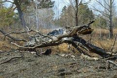 Árbol viejo quemado que fuma Primavera del bosque Imagenes de archivo