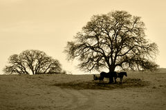Árbol y caballos descubiertos de roble en invierno Foto de archivo