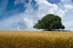 Árbol y nubes de roble del campo de trigo Fotos de archivo libres de regalías
