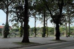 ?rboles altos de los ficus en uno de los parques de la ciudad de Siem Reap Verdes tropicales foto de archivo libre de regalías