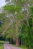 Árboles de abedul que sobresalen por el camino Fotografía de archivo libre de regalías