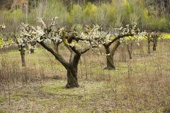 Árboles de almendra que florecen en huerta Fotografía de archivo