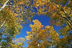 Árboles de Aspen Fotos de archivo
