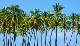 Árboles de coco altos Imagen de archivo libre de regalías