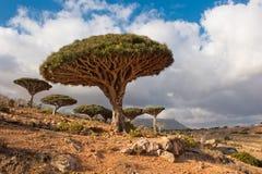 Árboles de dragón en la meseta de Homhil, Socotra, Yemen Imagen de archivo