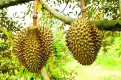 Árboles de Durian en el jardín de Rayong, Tailandia Foto de archivo libre de regalías