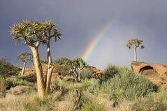 Árboles de la aljaba en una colina en Suráfrica Foto de archivo
