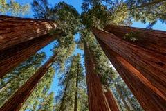 Árboles de la secoya gigante en parque nacional de secoya Imagen de archivo