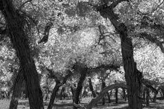 Árboles de álamo blancos y negros en la estación del otoño Fotos de archivo