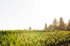 Árboles de navidad en la tierra roja en la granja, lado del país Fotos de archivo