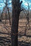 Árboles de Oklahoma Imágenes de archivo libres de regalías
