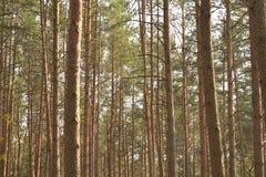 ?rboles de pino en el bosque imagen de archivo