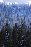Árboles de pino en invierno Foto de archivo