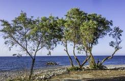 Árboles de pino en una costa del guijarro Foto de archivo