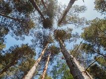 Árboles de pino escoceses en bosque Imagen de archivo