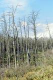 Árboles de pino muertos Foto de archivo libre de regalías